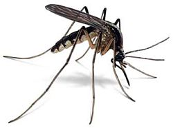Mosquito - Though Small, it is responsible for Many thousands of Deaths each & every year...
